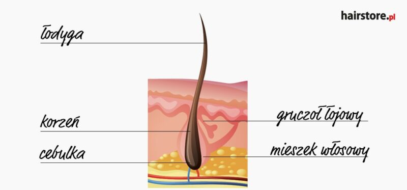 dlaczego włosy kręcone się kręcą