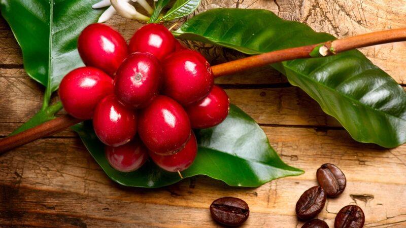 owoce kawy, kawa roślina jak wygląda, jak wyglądają owoce kawy, jak wygląda nasionko kawy