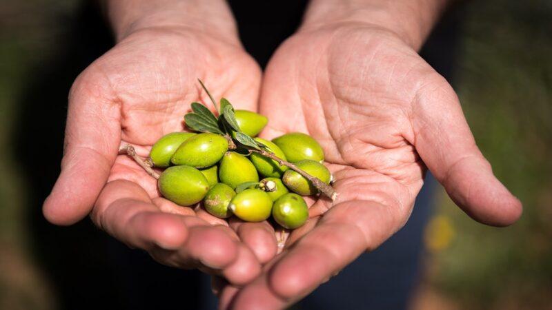 owoce drzewa arganowego, drzewp arganowe, olejek arganowy, orzech arganowy